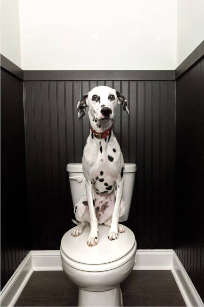 dalmatian puppy sitting on toilet surrounded by beadboard
