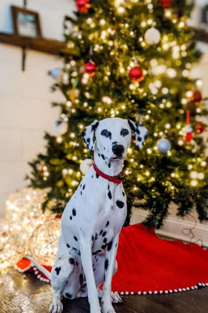 Dalmatian sitting in front of light up Christmas tree and twine balls with lights